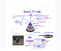 Name: 111006 Kestrel Memb 17-1 for RCG.jpg