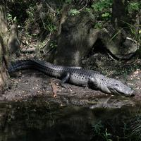 Name: gator01.jpg