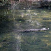 Name: gator03.jpg