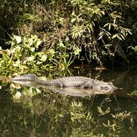 Name: gator04.jpg