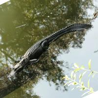 Name: gator06.jpg