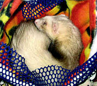 Name: Ferret Ring.jpg