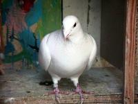Name: White racing Pidgeon.jpg