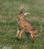 Name: jackalope-67767.jpg