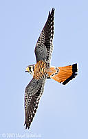 Name: american_kestrel_F5R6077-2.jpg
