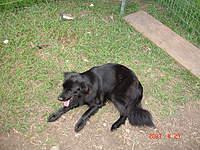 "Name: DSC02379.jpg Views: 71 Size: 137.7 KB Description: My all black..Golden Retriever "" Betty"""