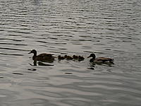 """Name: P1000170.jpg Views: 48 Size: 188.3 KB Description: """"Ducks in a row"""""""