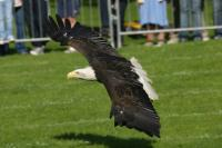Name: Bald Eagle in flight.jpg