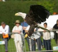 Name: bald eagle mid flight.jpg