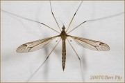 Name: Tipula_sp_12487-180x120.jpg