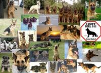 Name: German Shepards.jpg