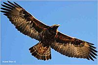 Name: http___www.canadiannaturephotographer.com_Duane_Starr_goldeneagle.jpg