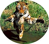 Name: Tiger 1.jpg