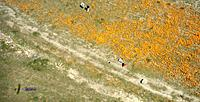 Name: AP-Poppies-07.jpg