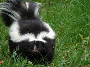 Name: skunk.jpg