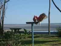 Name: galahs1.jpg