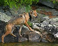 Name: Wolf at Aylen.jpg