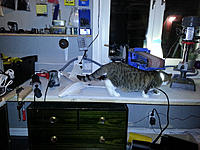 Name: Quality control 2.jpg Views: 80 Size: 616.1 KB Description: Quality control kitten is making her safety check. I got her on picture just between her well earned naps, a rare sight to be seen...