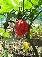 Name: 640px-Pots_of_Trinidad_Scorpion.jpg