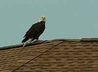 Name: Eagle on roof.jpg