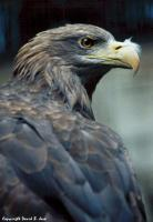 Name: white_tailed_eagle_with_feather.jpg