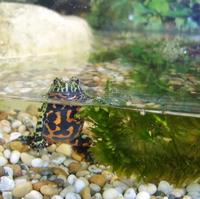 Name: firebellied toad.jpg