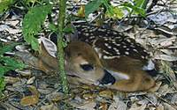 Name: Fawn171.jpg