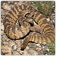 Name: tiger-rattlesnake.jpg