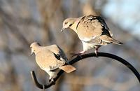Name: Doves.jpg
