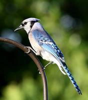 Name: BlueJay-1.jpg