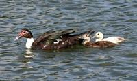Name: MamaDuck&duckings-2.jpg