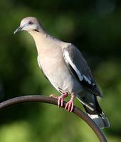 Name: DoveSharp-2.jpg