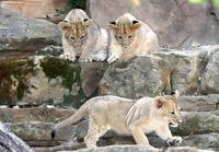 Name: Lioncubs-1.jpg