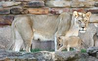 Name: Lioncubs-2.jpg
