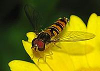 Name: 220px-Hoverfly_April_2008-3.jpg