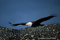 Name: eagle-0303-4.jpg