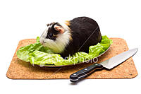 Name: guinea-pig-on-a-dinner-table.jpg