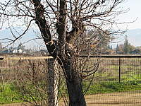 Name: Paris tree02.jpg