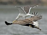 Name: gull-on-bald-eagle.jpg