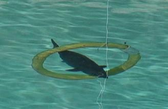 Shark racing using dive rings at different depths in the pool
