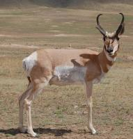 Name: pronghorn.jpg