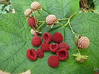 Name: P1071003 Rubus parviflorus fruit Gordon River.JPG Views: 3 Size: 412.0 KB Description: These sour little beauties make the best jam........that is if you like jam with more seeds than raspberry jam.  It sells for $15 1/2 pint......locally.   We put up 48 1/2 pints a year.....usually.