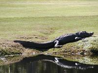 Name: al e gator.JPG
