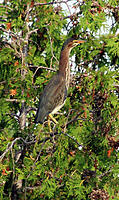 Name: Green Heron 2 c .jpg