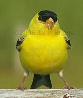 Name: finch.jpg