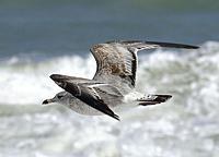 Name: flying gull.jpg