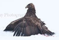 Name: Golden Eagle mantling.PNG