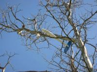 Name: EasyStar#1 in Tree at Greenfield - DSCN2121.jpg Views: 371 Size: 133.8 KB Description: EasyStar carnage - stuck in tree