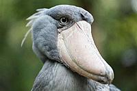 Name: shoebill-closeup.jpg Views: 74 Size: 28.8 KB Description:
