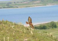 Name: redtail-hawk.jpg